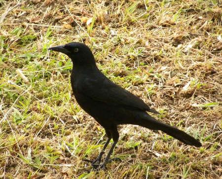 Carib Grackle-Quiscalus lugubris                               Stock Photo - 18271397