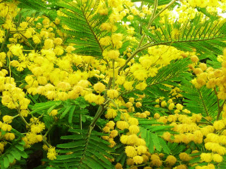 Mimosa - Acacia dealbata Stock Photo