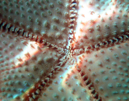 Starfish - Echinodermata,asterozoa