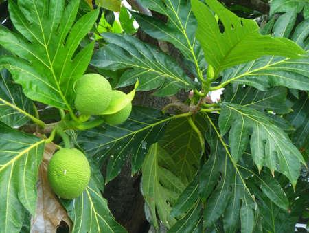 breadfruit : Artocarpus altilis
