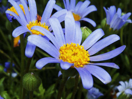 blue Spring Daisies Blooms Background