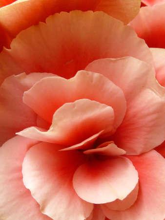 pink rose petals macro