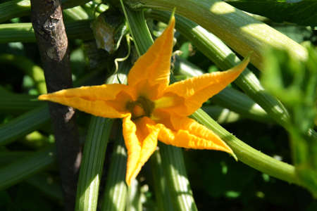 courgette s flower