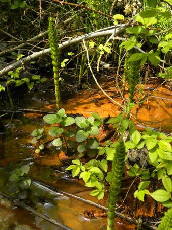 morass:   marsh                              Stock Photo