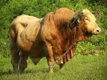 bull Stock Photo - 24467565