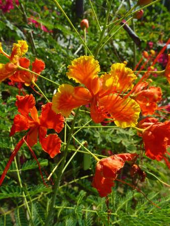 flamboyant: Red Flamboyant Tropische bloem