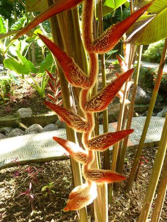 Heliconia vellerigera Stock Photo