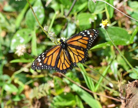 plexippus: Monarch butterfly-danaus plexippus Stock Photo