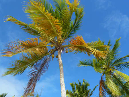 palm tree and coconut Stock Photo