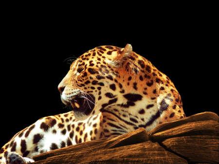mammas: Jaguar on Rocks Stock Photo