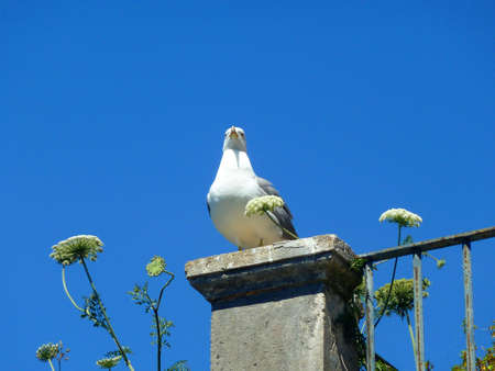 palmate: seagull Stock Photo