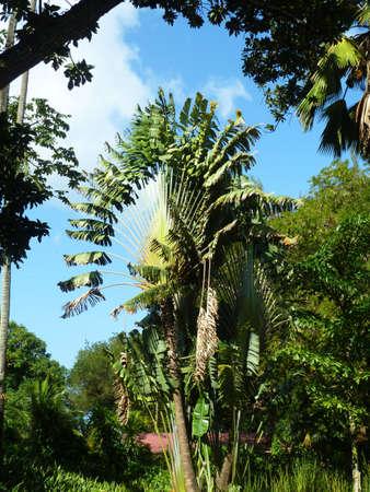 travelers palm