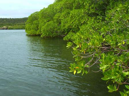 colonisation: mangrovie Archivio Fotografico