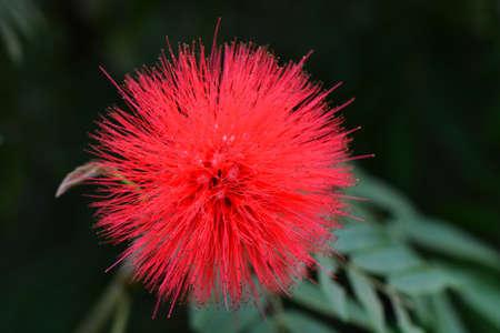 powder puff: powder puff tree - Calliandra haematocephala