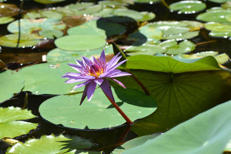 water-lily , nymphaea in the pond