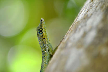 forked tail: lizard Stock Photo