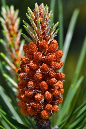 mugo: mountain pine - Pinus mugo