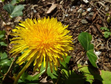 yellow flower of Taraxacum