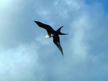 monogamous: frigatebird Stock Photo