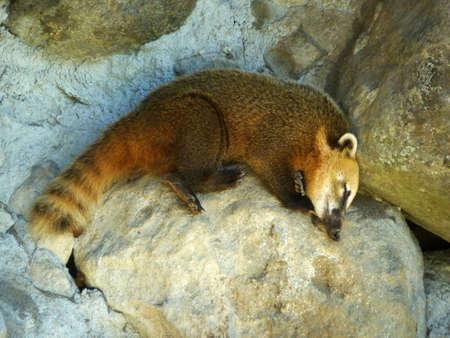 Coati,raccoon