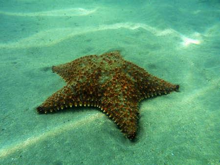 dermal: Seastar