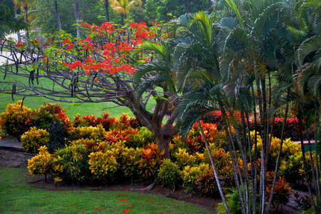 flamboyant: flamboyante op botanische tuin