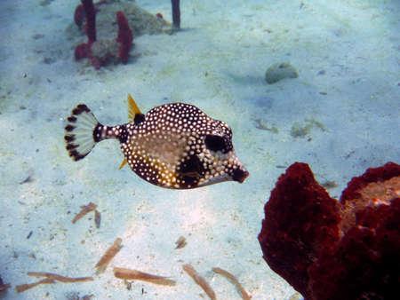 boxfish , trunkfish
