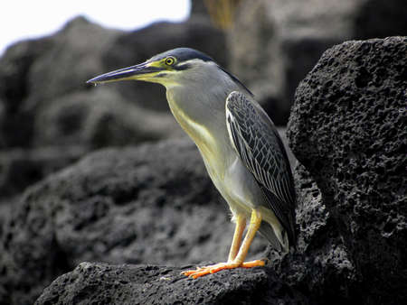 marine bird, heron,migratory