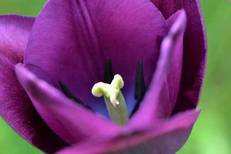 purple tulip Stock Photo - 60508253