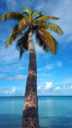 coconut palm tree on blue sky Stock Photo - 66137879