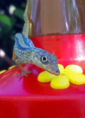 Lizard Look, Anolis Caribbean Lizard Stock Photo - 67957660