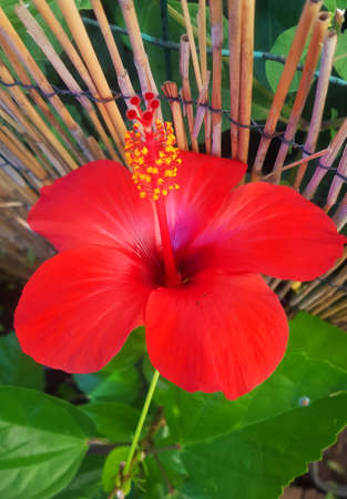 Red Hibiscus Bloom Stock Photo