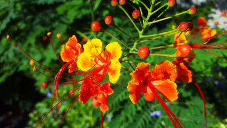 Faux Flamboyant Red and Yellow Flower Stock Photo - 71014425