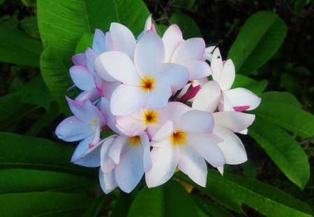 White Plumerias Exotic Flowers Bouquet Stock Photo - 71014427