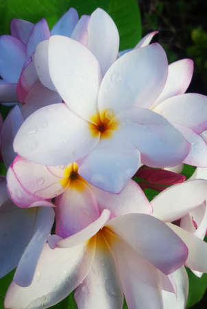 White Plumerias Exotic Flowers Close Up Stock Photo - 71014679