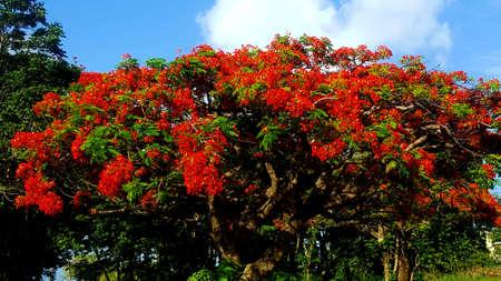 Flamboyant tree with a beautiful blue sky