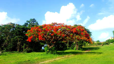 Flamboyant tree Stock Photo