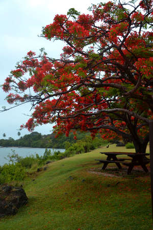Flamboyant tree with bench