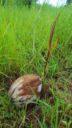 Coconut in the meadow Stock Photo