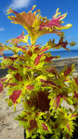Coleus, Tapis de monseigneur Stock Photo