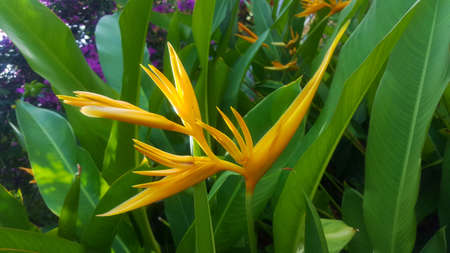 heliconia yellow flower