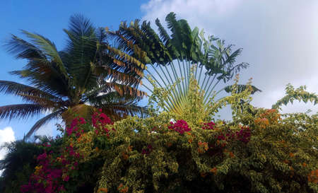 Coconut palm , travelers palm and bougainvilliers