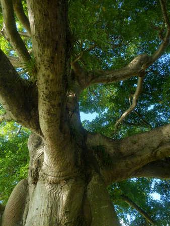 Secular tree , ancient tree Stock Photo
