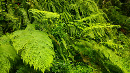 ferns,giant ferns
