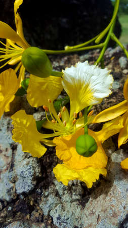 Flamboyant tree flower yellow colour Stock Photo