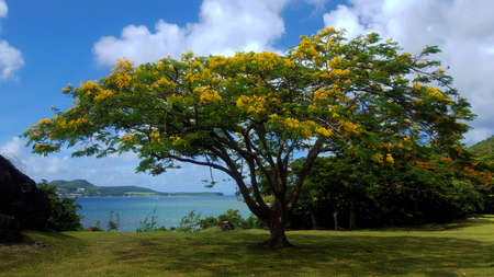 Yellow Flamboyant tree Stock Photo