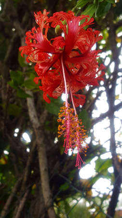 hibiscus red flower Stock Photo