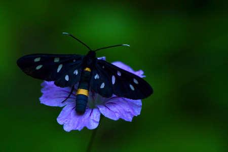 Fegea, moth,nine spotted moth Stock Photo