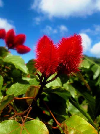 bixia orellana Stock Photo