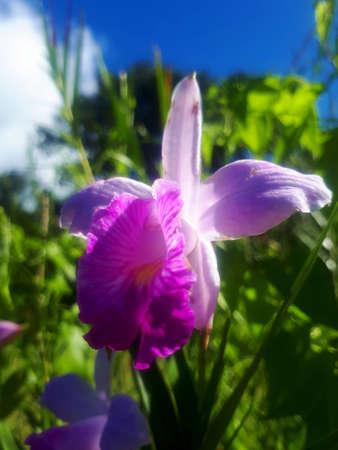 wild orchid purple